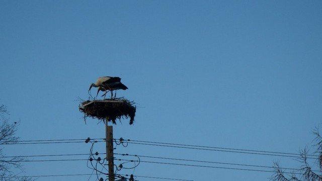 Wiosenne porządki w bocianich gniazdach. Fot. Siedlisko Sobibór